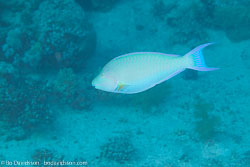 BD-120422-Fury-Shoal-6055-Scarus-ghobban.-Forsskål.-1775-[Blue-barred-parrotfish].jpg